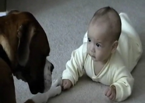 A baby and boxer greet. This may be the sweetest video ever.