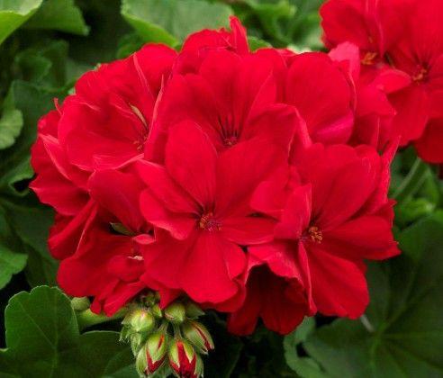 Geranium Big Red #pohlmansnursery #livingcolour #gardening #Australia