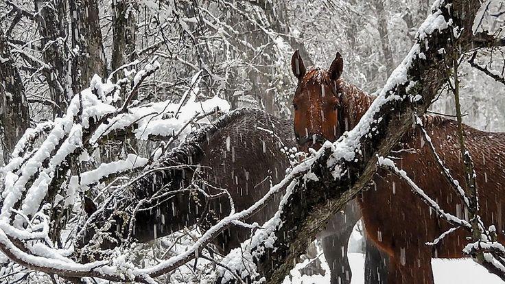 Caballos en la nieve- Villa La Angostura | por Melisa Reinhold