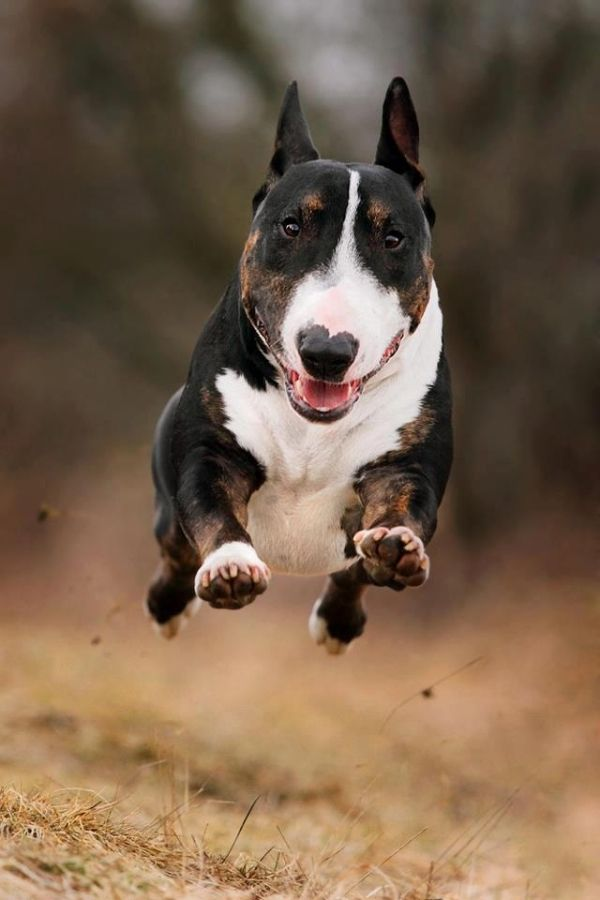 That's a #bully always in midair when the run and they're fast!