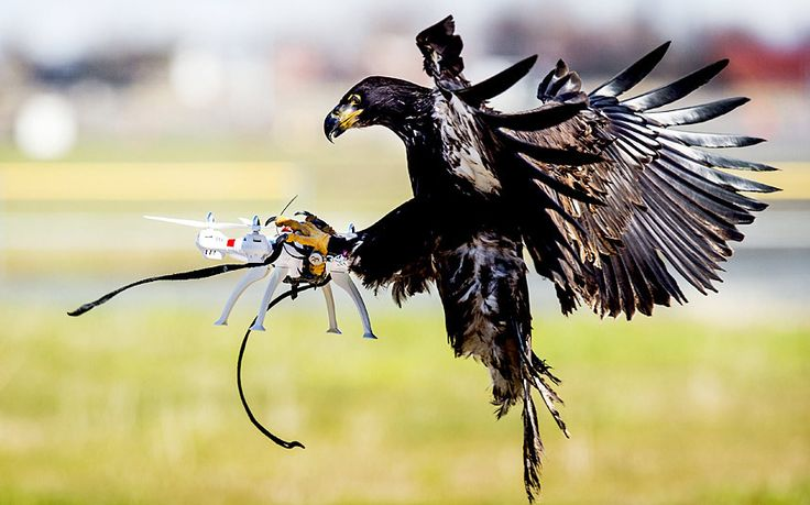 An eagle of the Guard from Above company grasps a drone during a police exercise in Katwijk, Netherlands