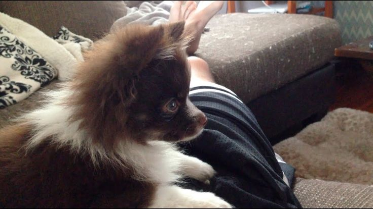 Puppy watching puppy videos [video] https://www.youtube.com/watch?v=5z9gFcjHUts cute puppies cats animals