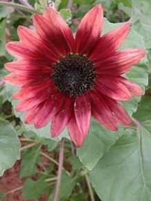 LATEST INTRO Sunflower CHERRY ROSE Seeds ANNUAL - zone 2 - 9 ~ Full Sun, Height: 4 feet      this absolutely unique lastest introduction in the pink series of sunflowers comes highly recomended! Gorgeous rose pink petals surround the deep wine coloured disc. A stunning effect!  Packet contains 10 seeds