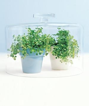 Put your cake dome to good use as a terrarium. Covering small potted plants will help speed their growth.