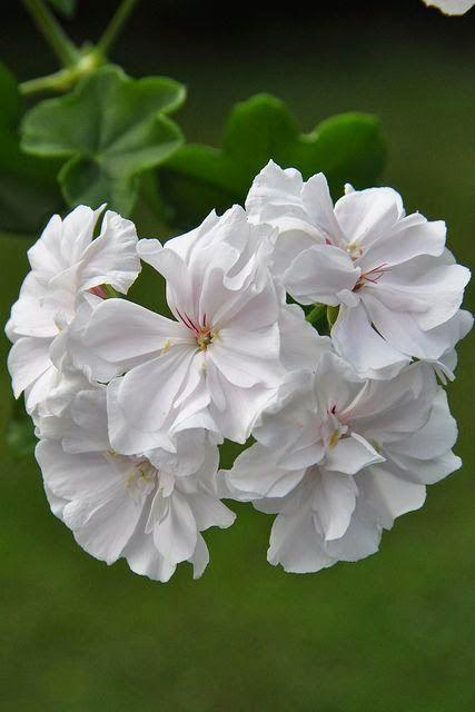 ~Pelargonium 'Snowdrift'  White geranium~~ by mimmis_garden on Flickr..