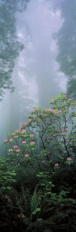 Rhododendrons and mist in the Redwood National Park, northern California • photo: Thomas D. Mangelsen on Images of Nature Gallery via diggerdawwwg.