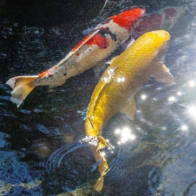 Koi Fish Swimming Together In Sparkling Water Orange White Black Yellow Photography Koifishcolors Koi Fish Koi Fish Pond Fish