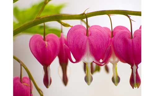 A flor Coração Sangrando tem o nome de Lamprocapnos spectabilis cientificamente e é uma espécie ornamental nativa da Sibéria, China, Coréia e Japão. É muito usada em jardins devido ao seu formato de coração e pode se apresentar nas cores rosa e branca