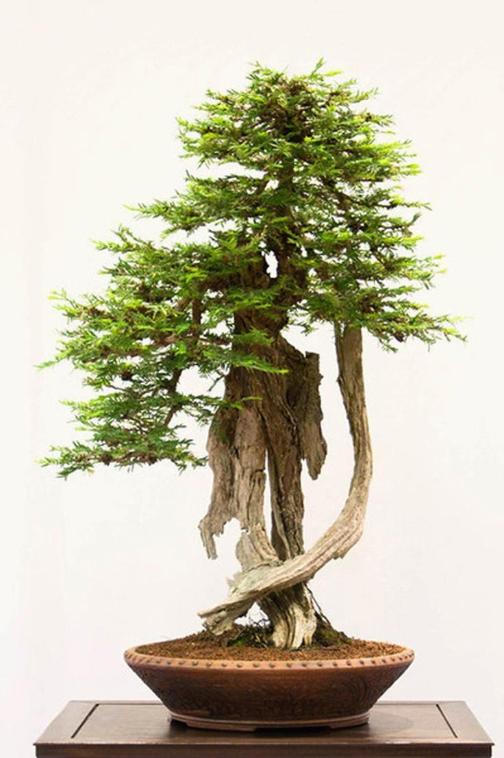 1151 Best Images About Bonsai Trees Ancient Beauty On