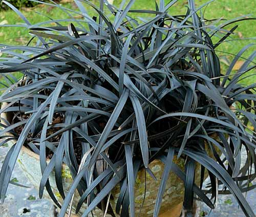 ophiopogon planiscapus 39 nigrescens 39 plante vivace. Black Bedroom Furniture Sets. Home Design Ideas