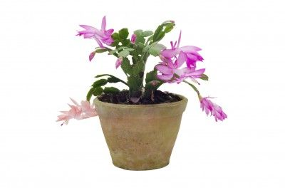 Repotting Christmas Cactus: How And When To Repot Christmas Cactus Plants -  Christmas cactus is a prolific grower that eventually needs to be repotted. While this is not too complicated, the key is knowing when and how to repot a Christmas cactus. This article will help with that.
