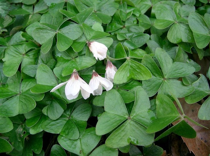 Shamrock Plant Grow Care Tips - Oxalis | HousePlant411.com | Houseplant 411 - How to Identify and Care for Houseplants