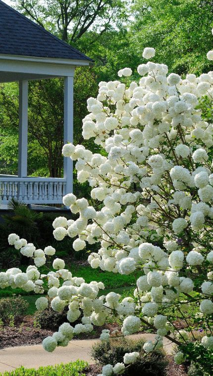 Snowball viburnum, absolutely stunning.... They are stunning and I had five of these along my driveway at the previous property ~ withstood extreme heat, frost in winter and the occasional dusting of snow! AJ