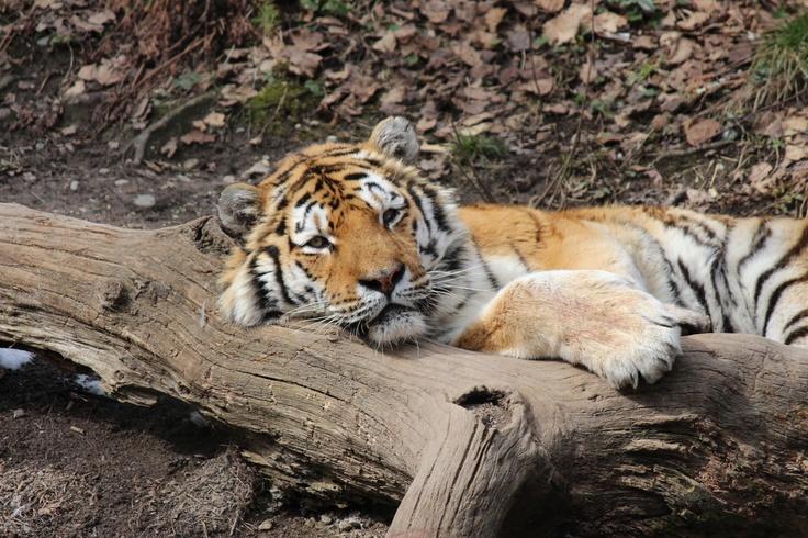 ♥ schlafender Bengalischer Tiger ♥