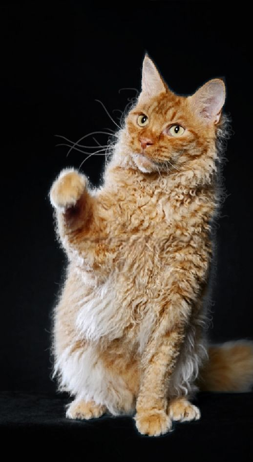 """LAPERM LONGHAIR The curly gene is dominant, as is the case for the Selkirk Rex. The body type is called """"semi-foreign"""" The LaPerm cat came about by a spontaneous and natural genetic mutation in the birth of a female kitten to a tabby barn cat in The Dalles, Oregon. 