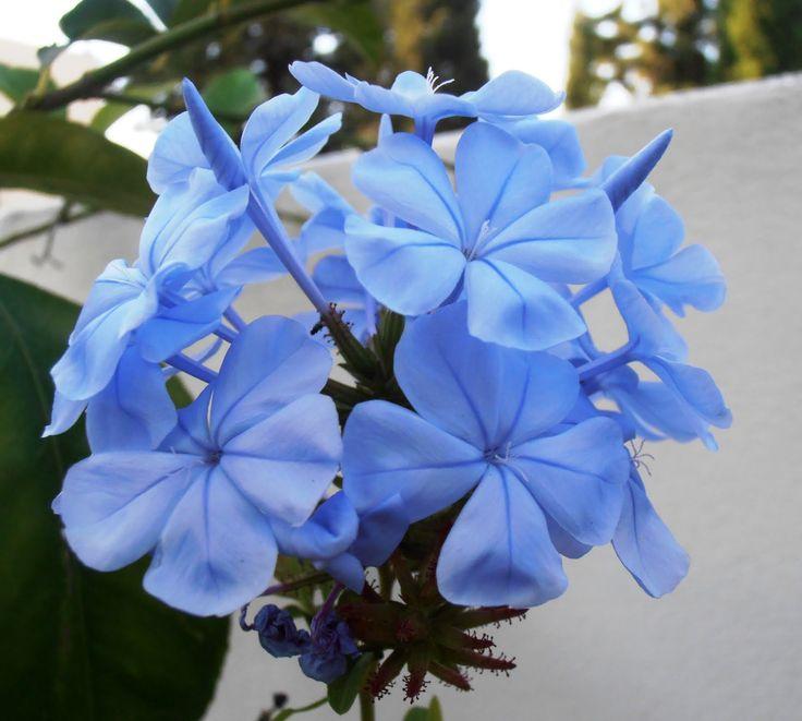 mejores 17 imágenes de plumbago auriculata/jazmin azul en