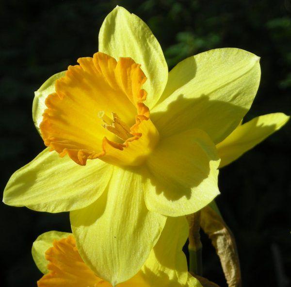 El narciso es una planta perteneciente a la familia Amaryllidaceae que está compuesta por 60 géneros y 800 especies diferentes. Es un gran conocido de los jardineros de todo el mundo y se usa profu…