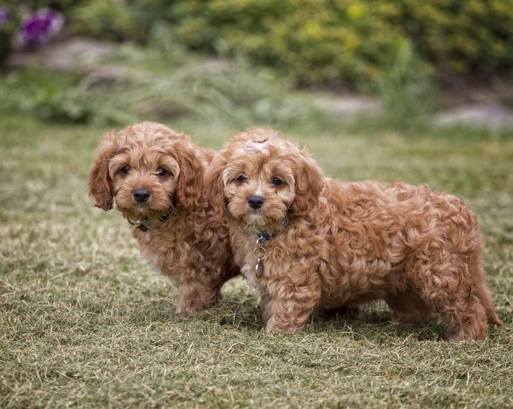 Cavapoo Puppies for Sale - US Shipping   Premierpups.com