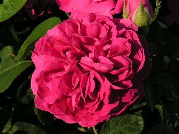 rosertilhaven: Rose de Rescht - Den har mørkerøde mod lilla blomster, meget velduftende (5:5) med fyldig blomstring fra juli til langt hen på efteråret, løvet fint grønt ogvæksten kraftig, højde fra 90 cm til 120 cm. Plantes solrigt med kun 1 stk. pr. m2, i bed eller som en hæk, og med den helt rigtige beskæring bliver det en smukt busk, der er velegnet til afskæring og kan iøvrigt fint klare sig i en stor potte. Den er sund, hårdfør og tåler faktisk en