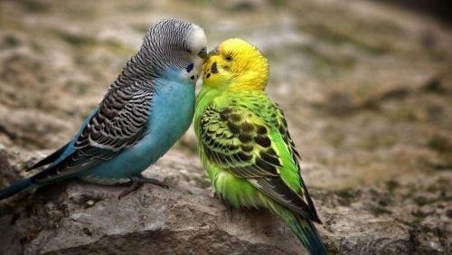 Hullámos papagáj, Madarak,papagáj,hullámos