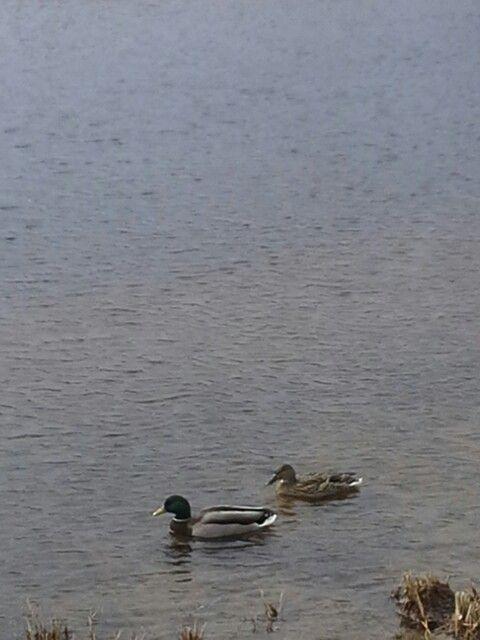 Nävät on sinisorsa samalla naaras heinäsorsa uivat järven rannalla olavilinaassa lähi luonnossa