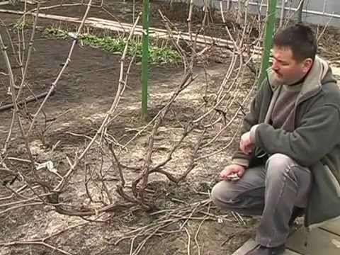Обрезка винограда ВИДЕО веерная формировка