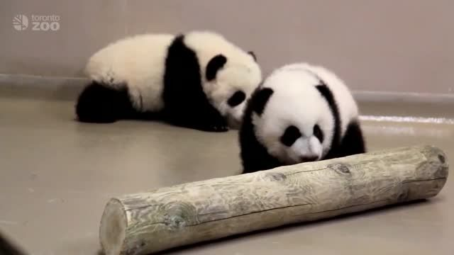 Toronto Zoo Giant Panda Cubs Walking at 4 Months Old!  Born on October 13, 2015, the Toronto Zoo giant panda cubs continue to grow. Now just over 4 months old, they have started taking solid steps and are becoming extremely mobile!