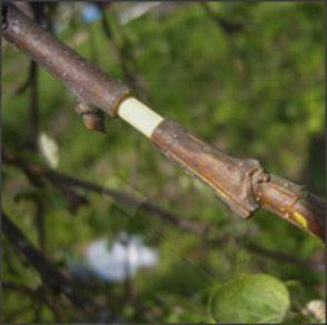 Кольцевание деревьев: эффективный прием для плодоношения