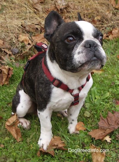 French Bulldog Information and Pictures, Frenchies