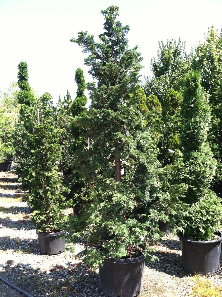 Кипарис это дерево или кустарник