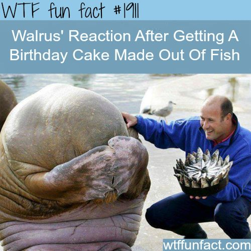Walrus' Reaction after getting a fish cake -WTF fun facts