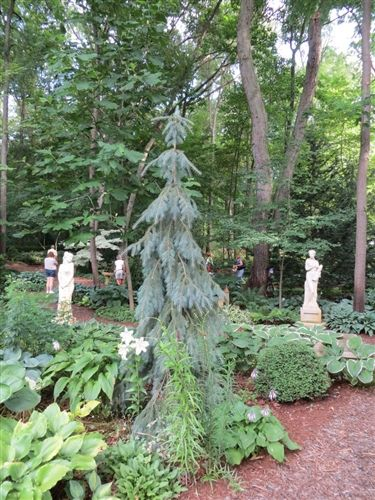 Weeping blue bush 39 s lace engelman spruce great narrow for Weeping evergreen trees for small gardens