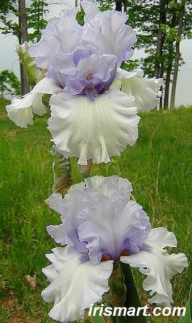 'Chinook Winds' 40 inches tall  Bearded Iris is very fragrant with a spicy scent.
