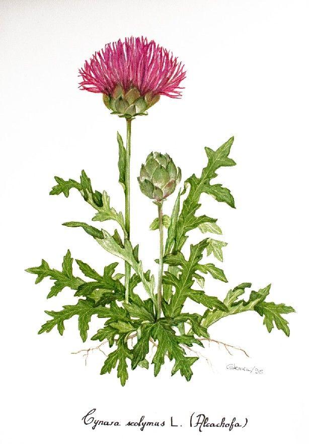 Cynara scolymus Magnoliopsida Fam. Asteraceae