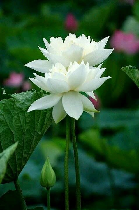 best flowers lotus  water lilies images on, Natural flower