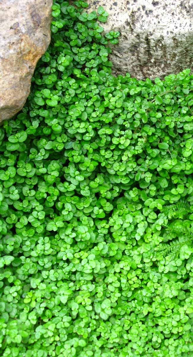 Soleirolia soleirolii (baby tears) Excellent around stepping stones in shady areas. Low growing green foliage. Tolerates foot traffic. Prefers moist or well drained soil. Ht.