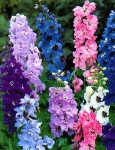 July Born - Flower: Larkspur. The symbolic meaning of larkspur flowers is lightness, levity, ardent attachment and fickleness (pink).