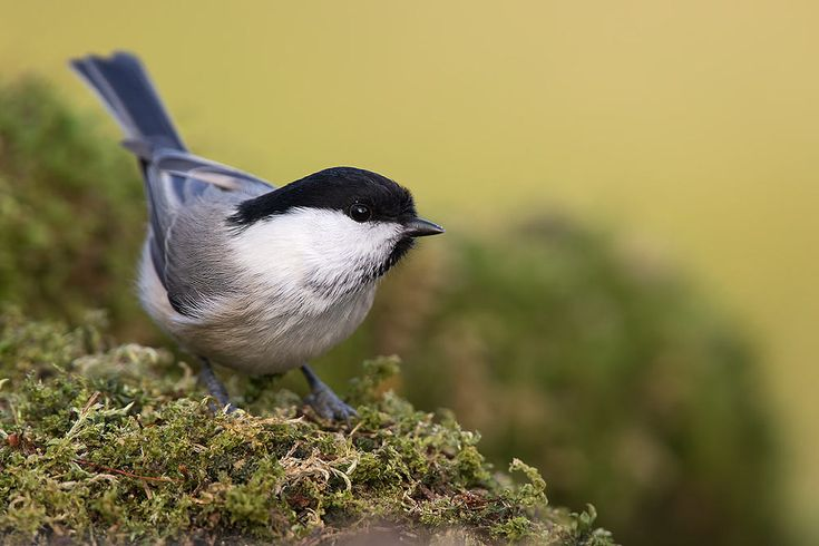 The willow tit by Elena Davydova on 500px