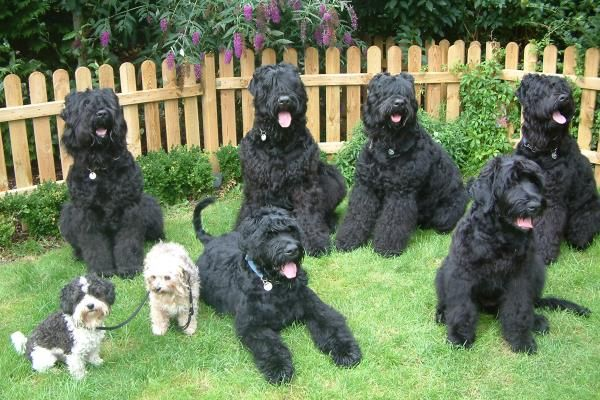 Black Russian Terrier (BRT) will be our next dog.  We will name him Comrade.