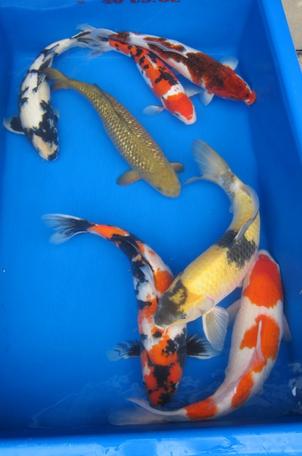 These are nice 22 24 koi and they are for sale koi Outdoor pond fish for sale