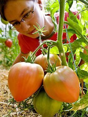 """Preiswerte Alternative zum Kunstdünger: Urin ist toller Tomatendünger - Tomaten der Sorte """"Long Keeper"""" stammen aus den USA."""