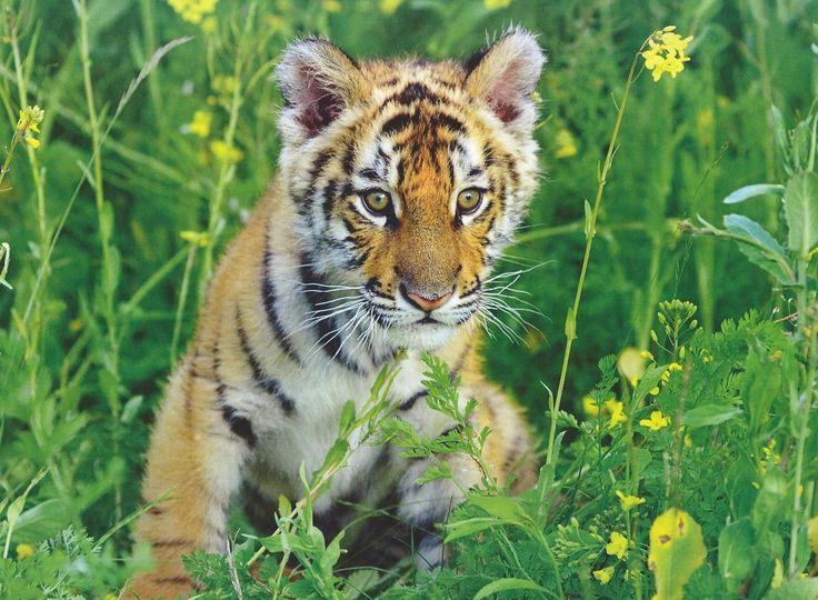 Bengal Tiger Cub
