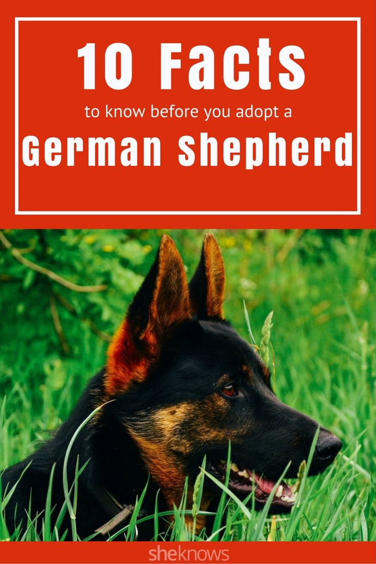 German shepherds have unique needs — consider these 10 facts before you adopt one. #DogAdoption