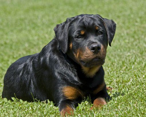 Ya te contamos sobre el origen, su carácter y algunos cuidados básicos de la raza Rottweiler. Conocé algunas enfermedades congénitas que puede sufrir este hermosa raza.