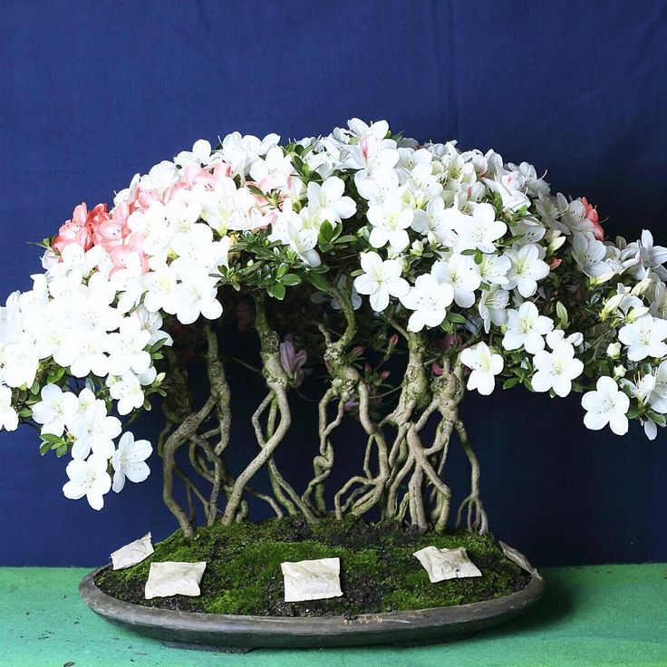 Bonsai 2016 festival winner❤️ Shin Nong makes the best bonsai fertilizer!! …