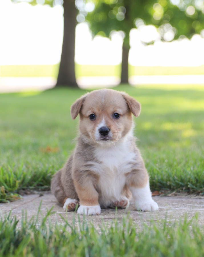 Extra Fun Playful Sweet Welshcorgi Kate With Her Affectionate Personality Is Sure To Capture In 2020 Lancaster Puppies Welsh Corgi Puppies Puppy Adoption