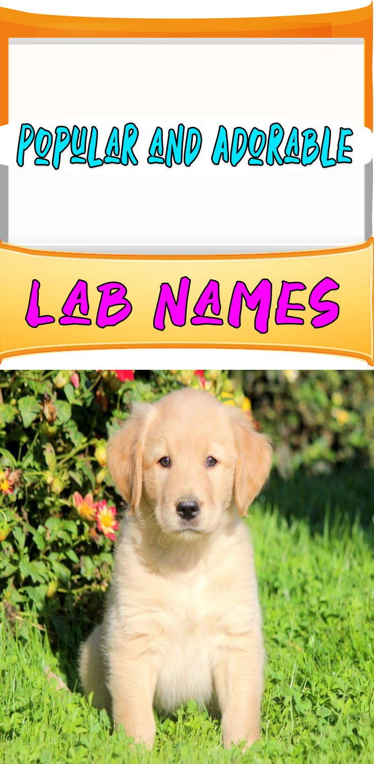 Best Dog Names For Labrador Retriever Dog Names Puppies Names