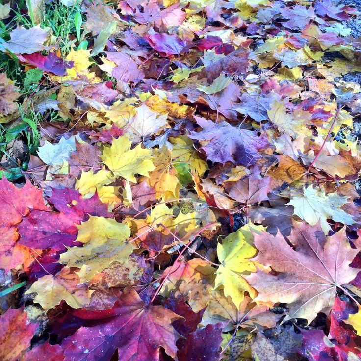 Maple leaves in the autumn. Photo by Kaisa Rautio, Coriosi www.coriosi.com