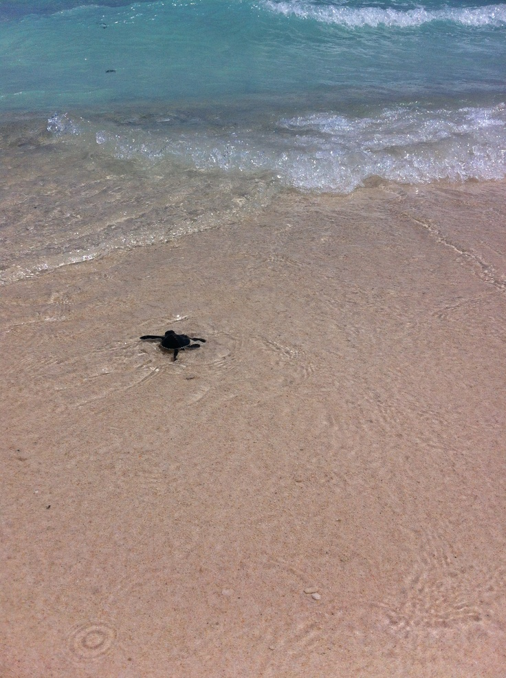 Baby Turtle going to the sea for the first time #Durai #Anambas #Indonesia