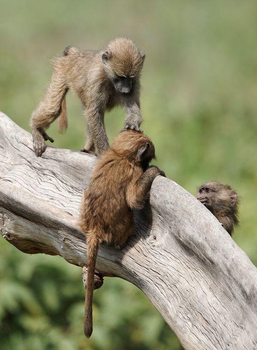 *Monkeying around - Baboons, Lake Nakuru, Kenya, (by Olivier DELAERE)